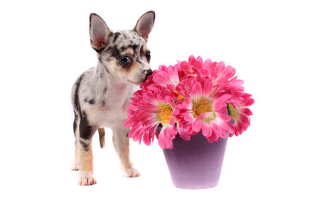 spotted flower: Cute little black spotted chihuahua smelling pink flowers on a white background Stock Photo