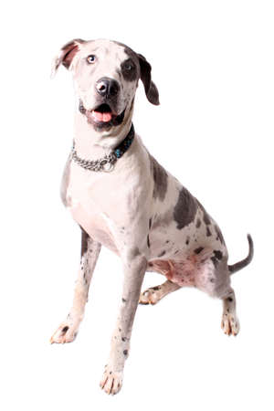 spotted: Great Dane portrait with spotted  coat on a white background
