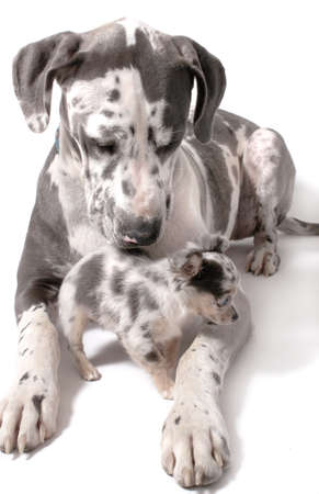 Great Dane and a little chihuahua together on a white background with shadow, both with merle coat  photo