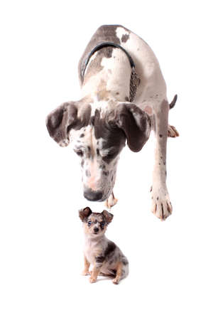 great dane: Great Dane with spotted fur lookiing or sniffing liittle brindle chihuahua on a white background