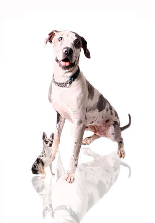 spotted fur: Great Dane with spotted fur lookiing or sniffing liittle brindle chihuahua on a white background