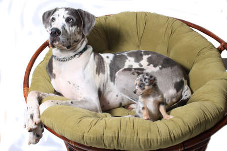 Great Dane and chihuahua laying on a big comfy chair isolated Stock Photo