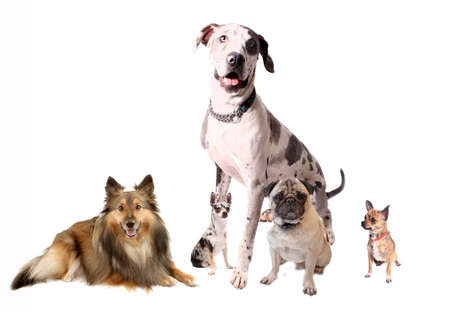 Different breeds of dogs like Chihuahuas, Great Dane, Sheltie, and Pug sitting together on a white background