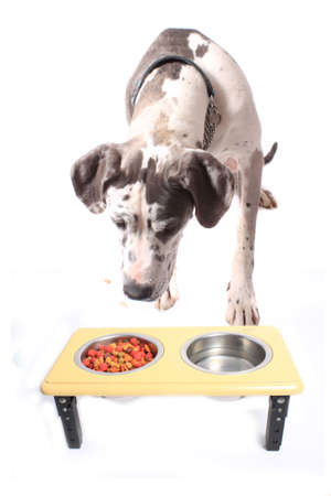 spotted fur: Great Dane with spotted fur lookiing or sniffing  dog food in a bowl isolated on a white background