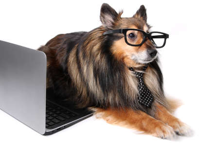 geeky: Sheltie or Shetland Sheepdog wearing a tie and geeky glasses laying by a computer laptop, working at the office concept
