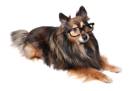 incognito: Sheltie or Shetland Sheepdog wearing a tie  and incognito glasses laying on a white  Stock Photo