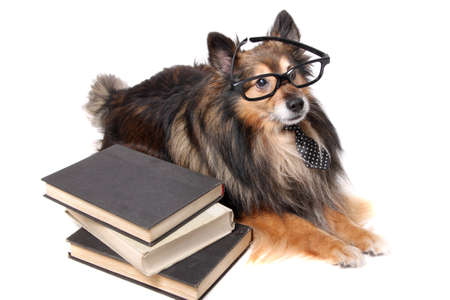 geeky: Sheltie or Shetland Sheepdog wearing a tie and black framed glasses laying by a pile of books, animal education concept Stock Photo