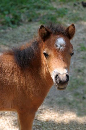 curiously: Baby miniature horse in the pasture looking curiously at camera Stock Photo