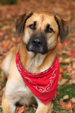sheppard: Handsome large mixed Boxer, Retreiver, Sheppard breed dog, sitting on an autumn background of fallen leaves