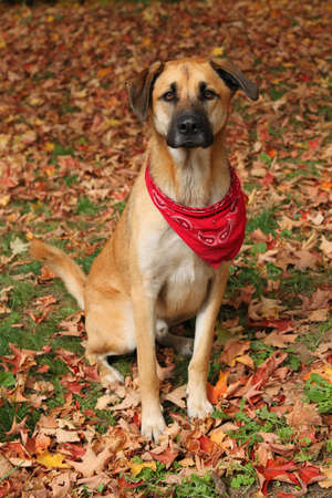 sheppard: Handsome large mixed Boxer, Retreiver, Sheppard breed dog, wearing a red scarf sitting on an autumn background of fallen leaves