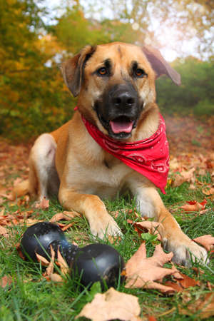 sheppard: Handsome large mixed Boxer, Retriever, Sheppard breed dog, sitting on an autumn background Stock Photo