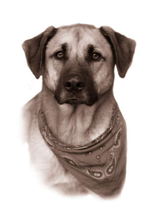 retreiver: Portrait or bust of handsome large mixed Boxer, Retreiver, Shepherd breed dog,  fading to a white background in vintage sepia color