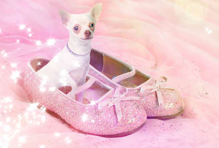 pampered: Little female chihuahua dog sitting in pink, glittery shoe Stock Photo
