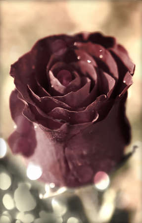 red rose bokeh: Close up of vintage red rose with dew or water drops and bokeh light effect