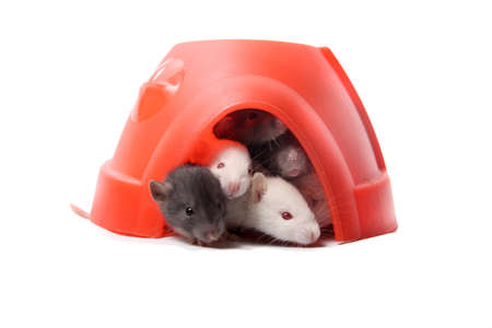 norvegicus: Group of small, cute, baby domesticated pet rats  climbing over eachother in a plastic dome house on a white background