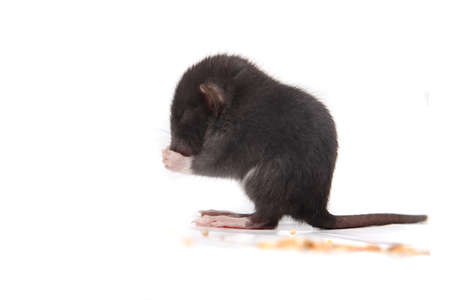 morsels: Small three to four week old baby rat eating morsels on a white background Stock Photo