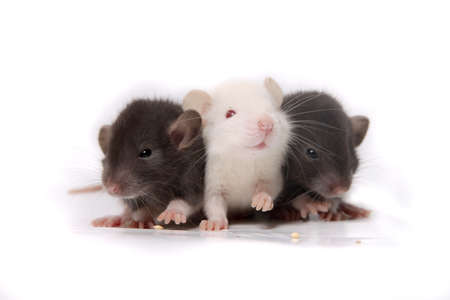 norvegicus: Group of small, cute, baby domesticated pet rats on a white background