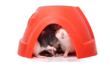 norvegicus: Group of small, of three to four week old, baby domesticated pet rats with one peeking out in a plastic dome house on a white background