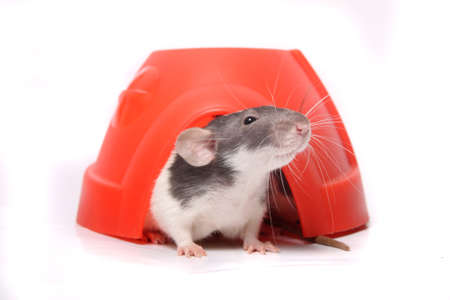 norvegicus: Cute  domesticated pet rat sticking his head out  of a plastic dome house on a white background