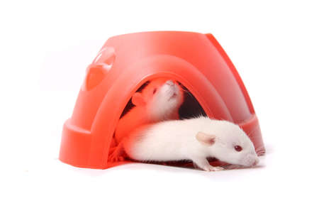 norvegicus: Group of small, cute, baby domesticated pet rats  climbing over eachother in a plastic dome house on a white background with white albino being curious