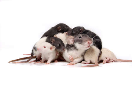 norvegicus: Group of small, cute, baby domesticated pet rats about three to four weeks old climbing over eachother and the mother rat on a white background