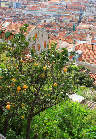 thriving: Lemon tree growing on the side of a cliff in Lisbon Portugal overlooking the red tiled rooftops Stock Photo