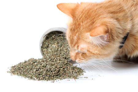 Orange cat smelling dried catnip spilled over from container on white background