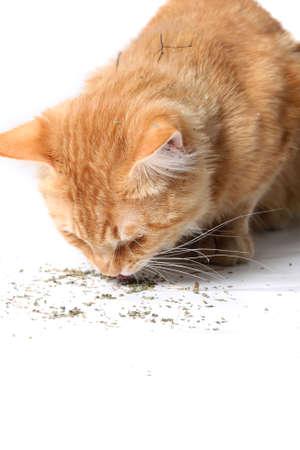 nepeta cataria: Gatto arancione mangiare asciugato catnip dopo la laminazione in esso come si � visto nella sua pelliccia