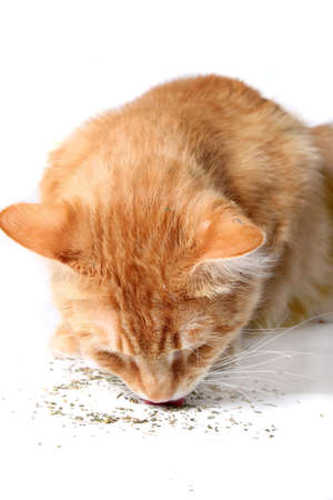 catnip: Orange cat eating catnip, a favorite treat of felines