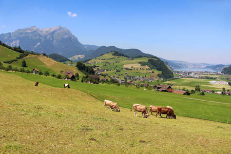 Cows grazing the grass in the hills of the Alps mountains in Switzerland on Mount Stastenhorn near Lucerne