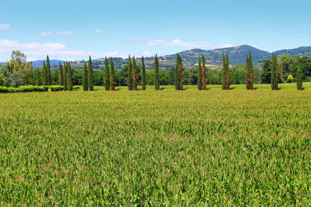 Wheat fields and trees lined up in a row in the rural area of Umbria, Italy Stock Photo - 45326416