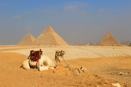 saddle camel: Camel relaxing at The Pyramids of Giza, man-made structures from Ancient Egypt in the golden sands of the desert with polluted Cairo in the background
