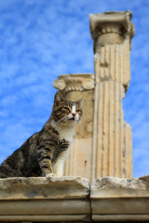 column: Cat sitting on a pillar in the Ancient City of Ephesus With Roman columns in the background