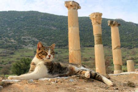 columnas romanas: Gato que se sienta en un pilar en la antigua ciudad de Éfeso con las columnas romanas en el fondo