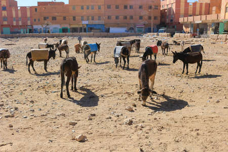 drove: A herd or drove of worker donkeys in a corral ,  in Rissani, Morocco.