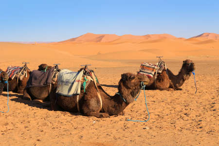 wooly: Camels resting at the foot of the Erg Chebbi Dunes at Merzouga in the Sahara desert, Morocco, Africa