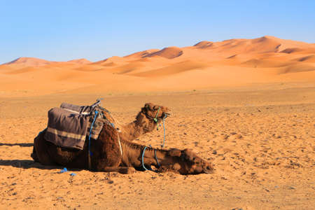 erg: Camels resting at the foot of the Erg Chebbi Dunes at Merzouga in the Sahara desert, Morocco, Africa