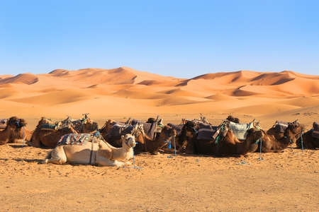 erg chebbi: Cararan of Camels resting at the foot of the Erg Chebbi Dunes at Merzouga in the Sahara desert, Morocco, Africa Stock Photo