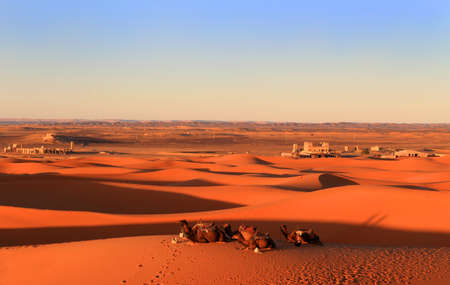 wooly: Camels resting at the foot of the Erg Chebbi Dunes at Merzouga in the Sahara desert, Morocco, Africa at sunset
