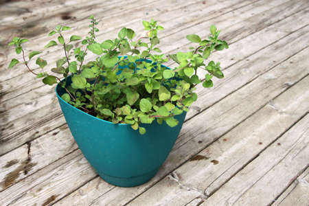 greek pot: fragrant, green Greek oregano in pot with wooden background Archivio Fotografico