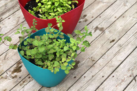 greek pot: Up close of fragrant, green Greek oregano and  spearmint leaves in pots