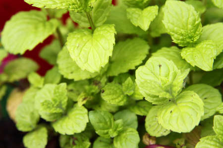 Up close of fragrant, green spearmint leaves Stock fotó