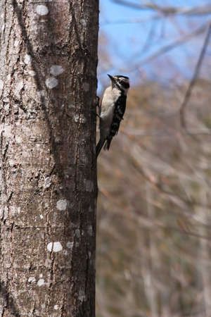 downy woodpecker: Downy woodpecker in New Brunswick, Canada in early springtime