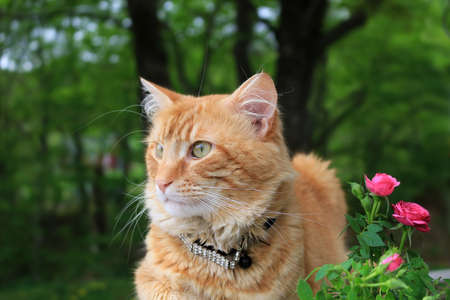 Orange or ginger colored cat sitting peacefully outdoors in the garden beside some pink small roses Stock Photo