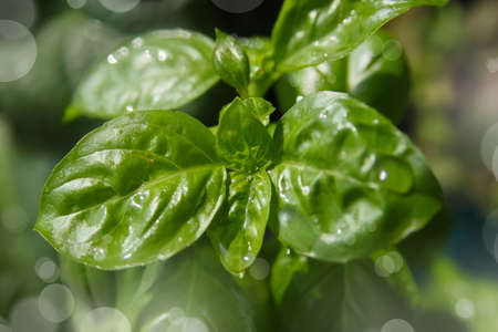 basil herb: Small basil herb plant growing in a pot with bokeh background