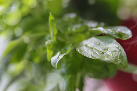 basil herb: Small basil herb plant growing in a pot with wet green leaves with bokeh background Stock Photo