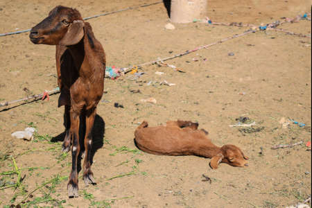 tiedup: Sheep for sale at a market in Rissani, Morocco, Africa