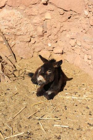 Kleiner Esel, der in den Schmutz in einem marokkanischen Dorf legt Standard-Bild - 79500063