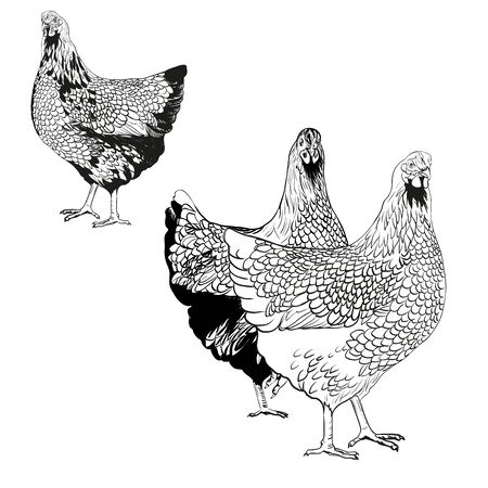 Vector drawing of a hens.