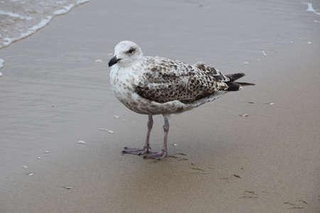 Photo of bird - beautiful seagull filmed on a sandy sea coast